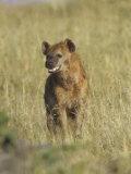 Spotted Hyena on the Savanna  Crocuta Crocuta  Masai Mara  Kenya  Africa