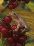 Spring Peeper on False Solomon Seal Berries  Hyla Crucifer  Smilacina Racemosa  North America