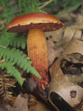 Frost's Bolete on the Forest Floor with Ferns and Leaf Litter (Boletus Frostii)  North America