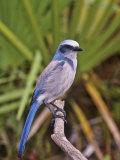 Florida Scrub Jay (Aphelocoma Coerulescens)  Florida Keys  USA