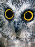 Northern Saw-Whet Owl Face and Eyes  Aegolius Acadius  North America