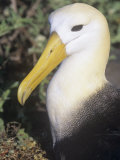 Waved Albatross Head  Diomedea Irrorata  an Endemic Species to the Galapagos Islands  Ecuador