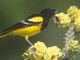 Male Scott's Oriole (Icterus Parisorum) on Cholla Cactus  Southwestern USA