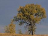 Black Cottonwood Tree in Fall Colors  Populus Trichocarpa  Western North America