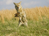 Coyote (Canis Latrans) Capturing Bobwhite Quail Prey  North America