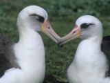 A Pair of Laysan Albatrosses  Diomedea Immutabilis  Midway Atoll National Wildlife Refuge  USA