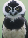 Spectacled Owl Head  Pulsatrix Perspicillata  Central and South America