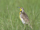 Western Meadowlark in Prairie Grasses (Sturnella Neglecta)  North America