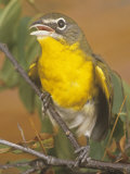 Yellow-Breasted Chat (Icteria Virens)  North America