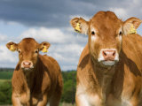 Faces of Limousin Calves with Ear Tags for Identification  England