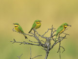 Little Bee-Eaters  One with Insect Prey in its Bill  Merops Pusillus  Masai Mara  Kenya  Africa