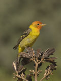 Western Tanager Male (Piranga Ludoviciana) on Agave Seed Pods  Arizona  USA