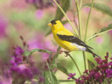 Male American Goldfinch (Carduelis Tristis) on Ironweed (Veronia) North America