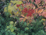 Fall Leaves and Berries of the Mountain Ash  Sorbus Sitchensis  North America