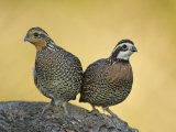 Northern Bobwhite Pair  Colinus Virginianus  North America