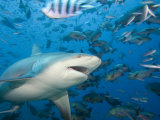 Bull Shark (Carcharhinus Leucas)  Fiji