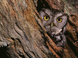 Eastern Screech Owl  Otus Asio  North America