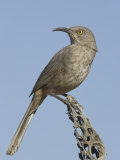 Curve-Billed Thrasher (Toxostoma Curvirostre) on a Cholla Cactus Skeleton  Arizona  USA