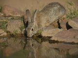 Desert Cottontail