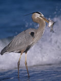 Great Blue Heron (Ardea Herodias) with a Fish That Is Has Speared with its Bill  Florida Coast  USA