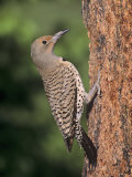 Female Northern Flicker (Colaptes Auratus)  USA