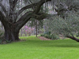 Large Live Oak with Draping Spanish Moss  Magnolia Plantation  Charleston  South Carolina  USA