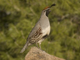 Gambel's Quail Male (Callipepla Gambelii) on a Rock  Sonoran Desert  Arizona  USA