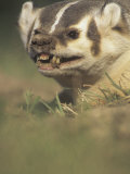 American Badger  Taxidea Taxus  Snarling When Disturbed While Digging its Burrow  North America