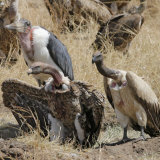 Ruppell&#39;s Griffon Vulture (Gyps Rueppellii) and Marabou Stork (Leptoptilos Crumeniferus