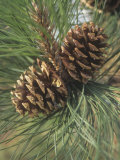 Mature Female or Seed Cones and Needles of the Ponderosa Pine  Pinus Ponderosa  Western USA