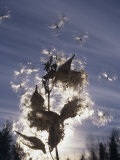 Milkweed Seeds Dispersed by Wind