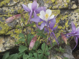 Blue Columbine  Aquilegia Coerulea  Colorado  Usa State Flower