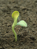 Germination of a Pea Seedling (Pisum Sativum)