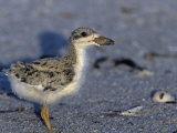 Black Skimmer Chick  Rhynchops Niger   Southern USA