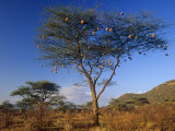 Numerous Weaver Nests in an Acacia Tree in the Savanna of Samburu Game Reserve  Kenya  Africa