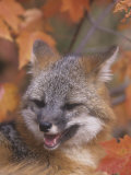 Gray Fox Face (Urocyon Cinereoargenteus)  North America