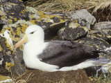 Black-Browed Albatross on its Nest  Diomedea Melanophris  Falkland Islands