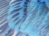 Close-Up of Male Indigo Bunting Feathers  Passerina Cyanea  North America