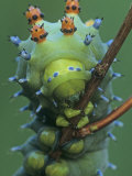 Cecropia Moth Larva or Caterpillar Head-On View  Hyalophora Cecropia    Hyalophora Cecropia