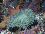 Anthopleura.Giant Sea Anemone in Tide Pool with Other Life. Papier Photo par Daniel W. Gotshall