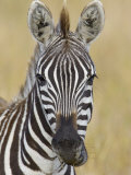 Zebra Chewing  Maasai Mara  Kenya  Africa