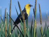 Male Yellow-Headed Blackbird (Xanthocephalus Xanthocephalus) in Cattails (Typha)  North America