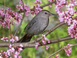 Gray Catbird (Dumatella Carolinensis)  North America