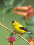 Male American Goldfinch (Carduelis Tristis) on Trumpet Creeper (Campsis Radicans) North America