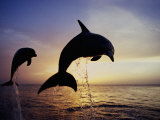 Bottlenose Dolphins Leaping Out of the Water at Twilight (Tursiops Truncatus)