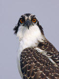 Osprey (Pandion Haliaetus)  North America