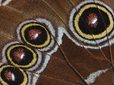 Eyespot Underwing Pattern Close-Up of Blue Morpho Butterfly  Morpho Peleides