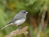 Dark-Eyed or Slate-Colored Junco  Junco Hyemalis  North America