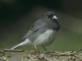 Dark-Eyed Junco  Junco Hyemalis  USA