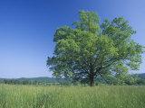 Burr Oak (Quercus Macrocarpa)  Eastern North America